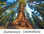 Famous Sequoia Park And Giant...