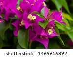 Blooming Bougainvillea     ....