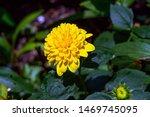 Helianthus 'loddon Gold'  A...