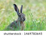 Stock photo hare sitting in the grass 1469783645