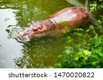 Hippopotamus Relaxes In The...