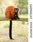 red ruffed lemur  varecia rubra ...   Shutterstock . vector #147006095