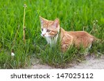 Stock photo red little kitten hunting on a grass on sunny day on summer 147025112