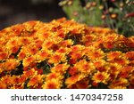 orange chrysanthemums...   Shutterstock . vector #1470347258