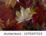 autumn multicolor maple leaves...   Shutterstock . vector #1470347315