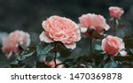Stock photo pink rose flower on background blurry pink roses flower in the garden of roses rain drops on pink 1470369878