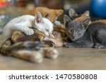 Stock photo three kittens breastfeeding three colored cat with beautiful eyes feeds kittens kittens with 1470580808