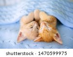 Stock photo baby cat sleeping ginger kitten on couch under knitted blanket two cats cuddling and hugging 1470599975