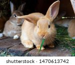 Stock photo  orange rabbit in the hutch eating green grass 1470613742