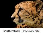Small photo of Detail cheetah on black background. Detail cheetah. Feline on the black. Very fast feline. fastest undomestic cat.
