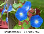 Sky Blue Morning Glory Growing...