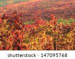 vineyards in autumn colors | Shutterstock . vector #147095768