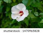 White Hibiscus Flower  Close Up....