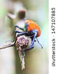 orange beetle insects in... | Shutterstock . vector #147107885