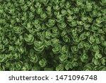 top view of sedum ewersii green ...   Shutterstock . vector #1471096748