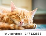 Stock photo peaceful orange red tabby cat male kitten curled up sleeping white background 147122888