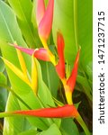 Heliconia Bihai Lobster  Claws...