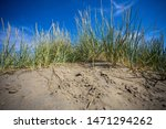 Beach Grass With Ripe Seeds As...