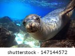 Sea Lion Swimming Underwater I...