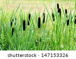 Cattails Growing Beside A Smal...