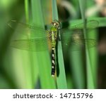 Eastern Pondhawk Dragonfly ...