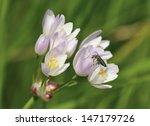 Small photo of Field Garlic - Allium oleraceum With Thick-legged Flower Beetle - Oedemera nobilis