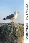 Small photo of Gallant sea gulls of Rome.