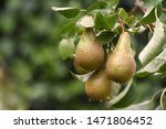 Conference Pears Ripening On A...