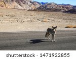 A coyote walking on an empty highway in Death Valley, California.