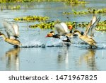 Flock Of Migratory Red Crested...