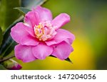Camellia Blossom Closeup With...