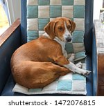 Drever, breed of dog, short-legged scenthound from Sweden used for hunting deer and other game. Dog on armchair