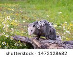 Opossum Or Possum Mother With...
