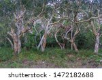 Australian Eucalyptus Paperbar...