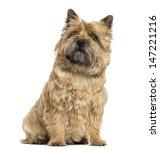 Cairn Terrier Sitting  Looking...