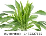 Green Chili Pepper Plants...