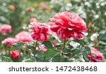 Stock photo rose flower bloom on a background of blurry red roses in a roses garden 1472438468