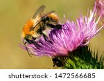 Common Carder Bumblebee On A...