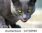 Close of a cat licking her face. - stock photo