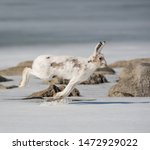 Stock photo winter hare runs on snowy ice 1472929022