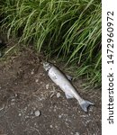 Spawning Grounds  Salmon...