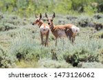 Two Baby Pronghorn Fawns...