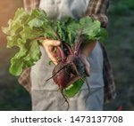 farmers holding fresh beetroot... | Shutterstock . vector #1473137708