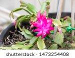 Blooming Pink Cactus Flower ...