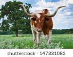 Closeup Of Texas Longhorn...