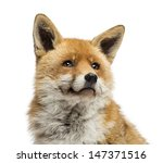 close up of a red fox looking... | Shutterstock . vector #147371516