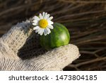 Small Tiny Watermelon With...
