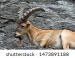 buck of west caucasian goat ... | Shutterstock . vector #1473891188