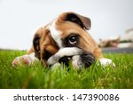 Stock photo bulldog puppy playing in grass 147390086