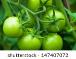 Green Tomatoes. Agriculture...